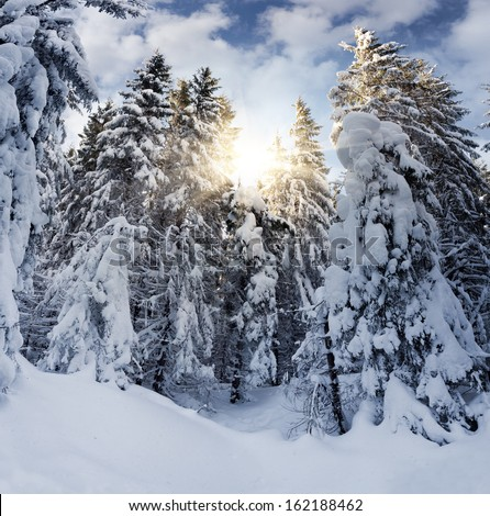 Snowy spruce in mountain forest