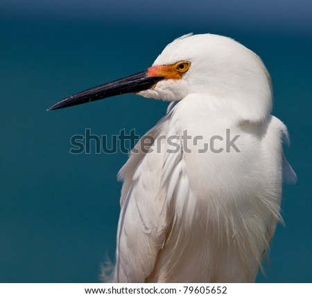 Snowy white egret looks left surrounded by Gulf of Mexico - stock photo