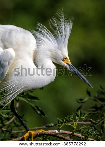 Snowy white egret with breeding feathers raised - stock photo
