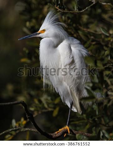 Snowy white egret with orange feet - stock photo