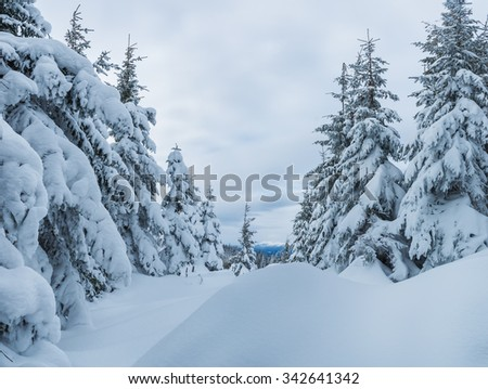 snowy winter in the fir woods - stock photo