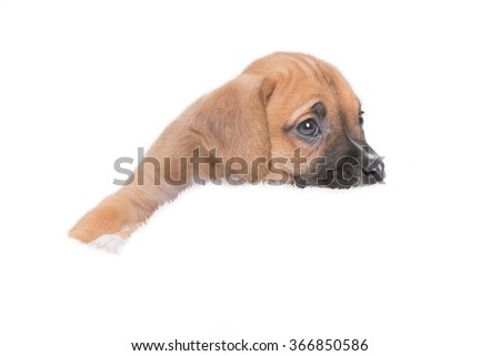 Snuggly Puppy Dog in White Background - stock photo