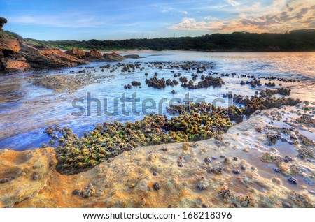 So the tide had washed out and an opportunity to photograph the cunjevoi, or sea squirts- intertidal animals that attach to tidal rocks live off plankton by siphoning sea water. Focus to foreground - stock photo