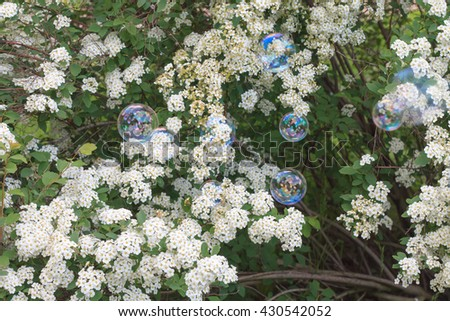 Soap bubbles on the background of blossoming bush spirea gray on a sunny summer day - stock photo