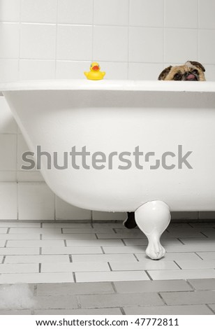 Soapy dog in the bath tub - stock photo