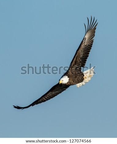 Soaring Eagle - stock photo