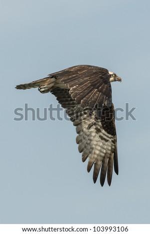 Soaring Osprey against a blue sky - stock photo