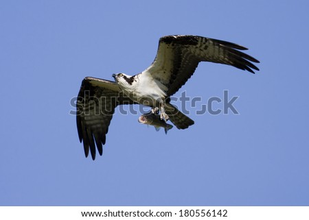 Soaring osprey carrying a bass in it's talons  - stock photo
