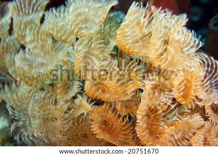 Social feather duster(Bispira Brunnea) - stock photo