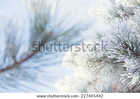 Soft breeze on frigid morning with hoar frost falling from pine tree. Background blurred to allow for copy space or wintry background. Pine branch in forefront in focus.