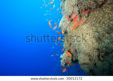 Soft coral and Red Sea Anthias