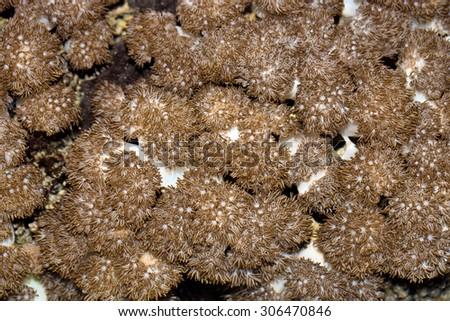 soft coral, Nusa Penida, Indonesia - stock photo