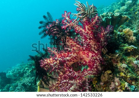Soft corals off coast of North Sulawesi, and faces Lembeh Island and the Lembeh Strait
