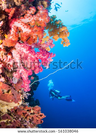 Soft corals with variying colors with a scuba diver in the background - stock photo