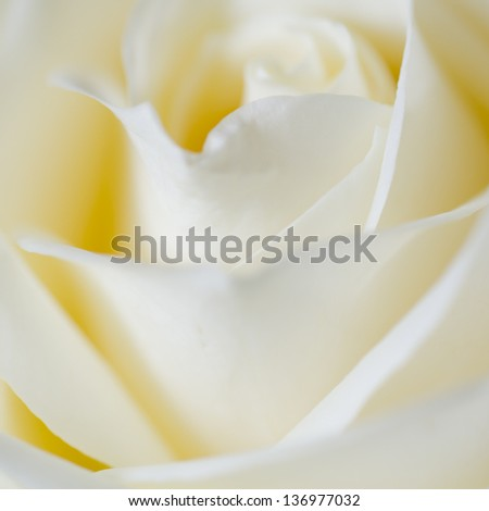 Soft delicate Ivory rose