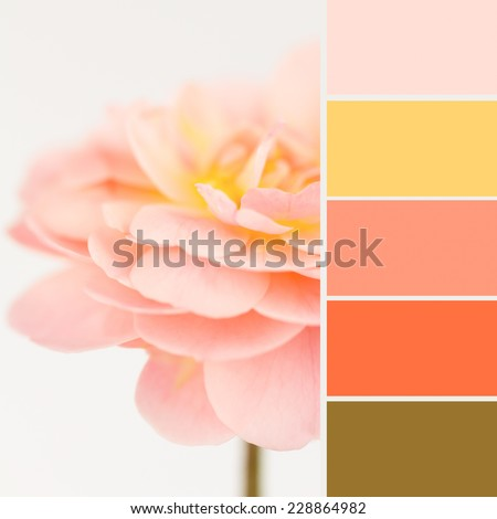 Soft dreamy peach rose with color combination swatches pulled from the flower. - stock photo