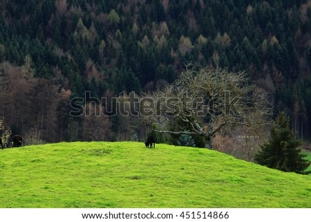 soft focus, baby black alone sheep under the tree with green field and mountain in Switzerland.