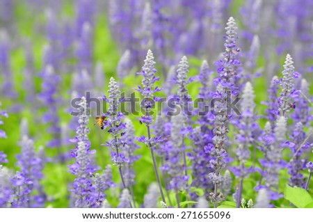 soft focus blue salvia flowers in the field in sunny day