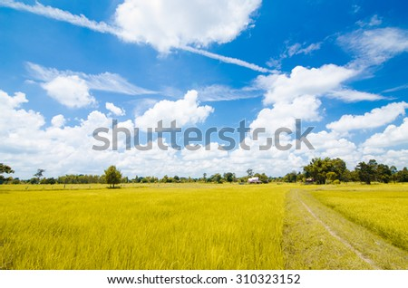 soft focus,blurry and len flare of rice field and blue sky background