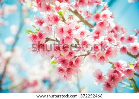 Soft focus Cherry Blossom or Sakura flower on nature background - stock photo