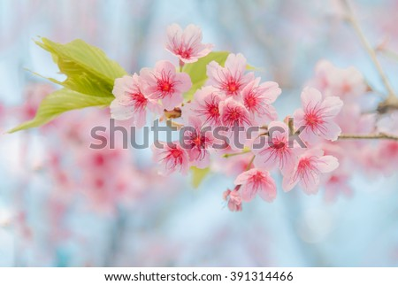 Soft focus Cherry Blossom or Sakura flower on nature background - stock photo