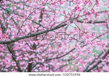 Soft focus Cherry Blossom or Sakura flower on tree