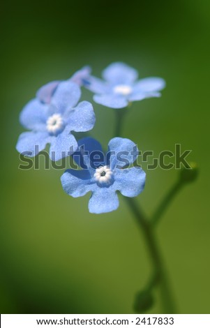 Soft Focus Chinese Forget-Me-Nots (Cynoglossum amabile) Macro Vertical - stock photo