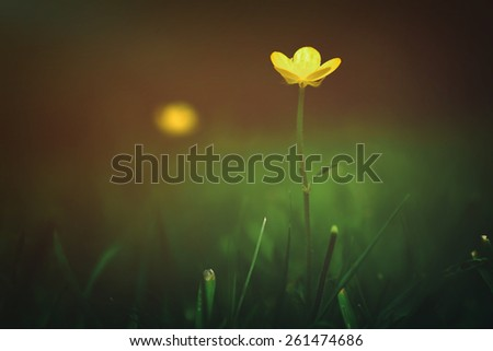 Soft-focus close-up of a bright yellow flower in grass, Blurred floral background - stock photo