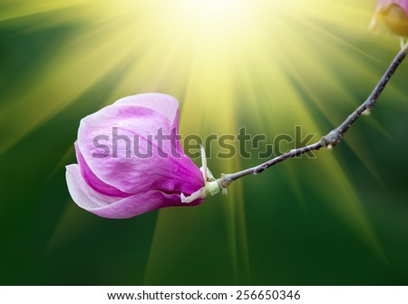 Soft focus image of blossoming magnolia flowers in spring time with sun lights. Shallow DOF - stock photo