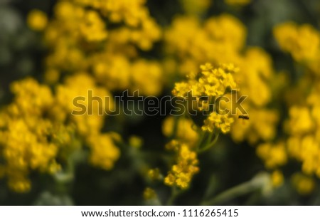 Soft focus image small yellow flowers stock photo royalty free soft focus image of small yellow flowers of aurinia saxatilis in the spring time in the mightylinksfo