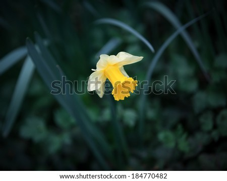 Soft focus image of yellow narcissus flower in the green grass. Shallow DOF - stock photo