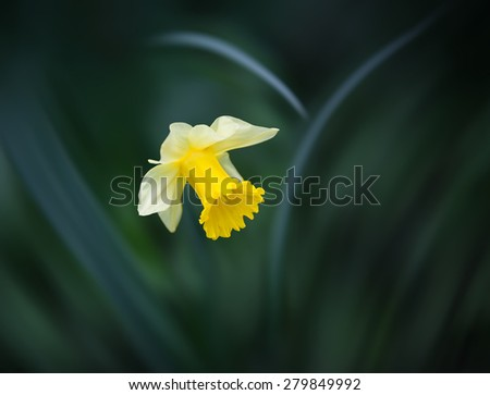 Soft focus image of yellow narcissus flower on blurred grass background. Shallow DOF - stock photo