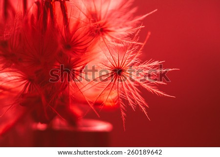 soft focus macro shot of fluffy dandelion seeds,filter colored. - stock photo