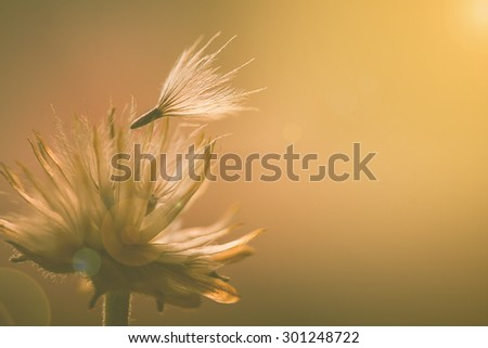 soft focus macro shot of fluffy dandelion seeds,filter colored and mosaic filter effect. - stock photo