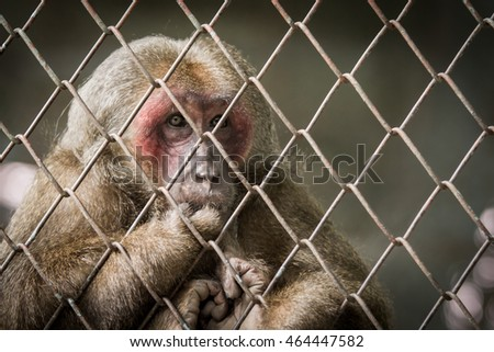 Soft focus Monkey feel lonesome in Cage. Lack of Independence.