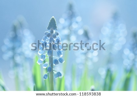 Soft-focus muscari flowers with backlighting and sparkly bokeh