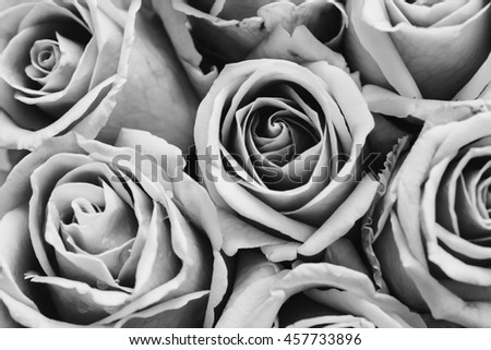 Soft focus of beautiful pink rose background, close up of pink rose, convert to black and white. - stock photo