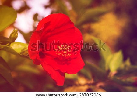 soft focus of hibiscus flower in garden,vintage color tone.