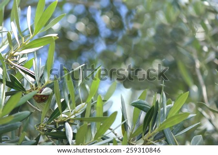 Soft focus Olive tree leaves with Blue sky background 3 - stock photo