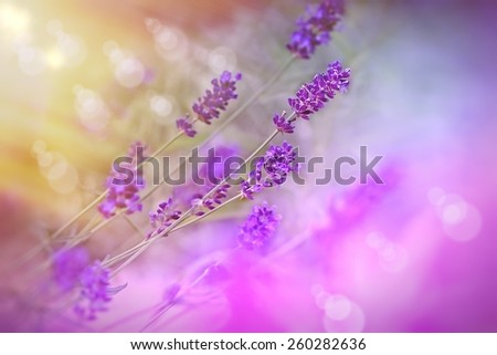 Soft focus on beautiful lavender flowers in my flower garden - stock photo
