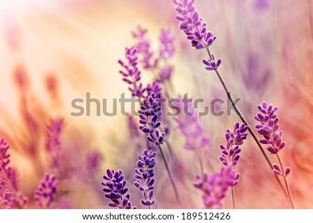 Soft focus on lavender and sun rays - sunbeams - stock photo