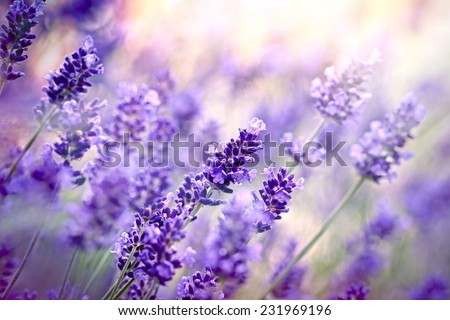 Soft focus on lavender flower - stock photo