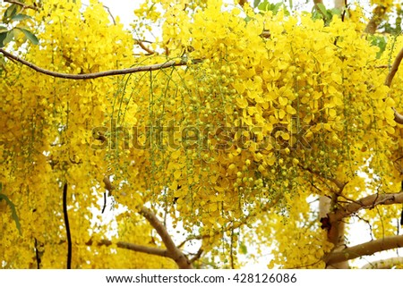 Soft focus yellow flowers background. Golden shower, Cassia fistula. Summer Nature Background. - stock photo