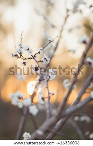 Soft focusspring blooming tree,  dreamy sunny background, beautiful fine art photo style, little white flowers on tree branch over sunset, garden on spring season - stock photo