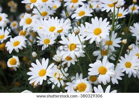 soft focut white Gerbera flower - stock photo