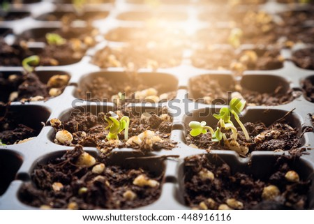 Soft image young  plant Chinese kale in Seedling tray on falling rain day. - stock photo