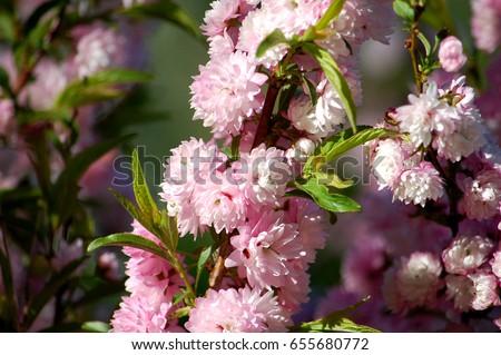Soft pink flowering almond bush prunus stock photo image royalty soft pink flowering almond bush prunus triloba mightylinksfo