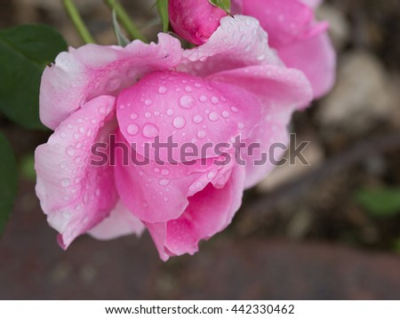Soft Pink Rose with Droplets Blooming in a Garden - stock photo