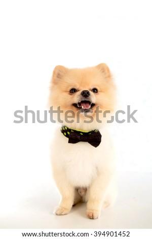 soft,pomeranian dog short hair on white background - stock photo