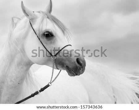 soft portrait of white wonderful arabian stallion  at sky background - stock photo